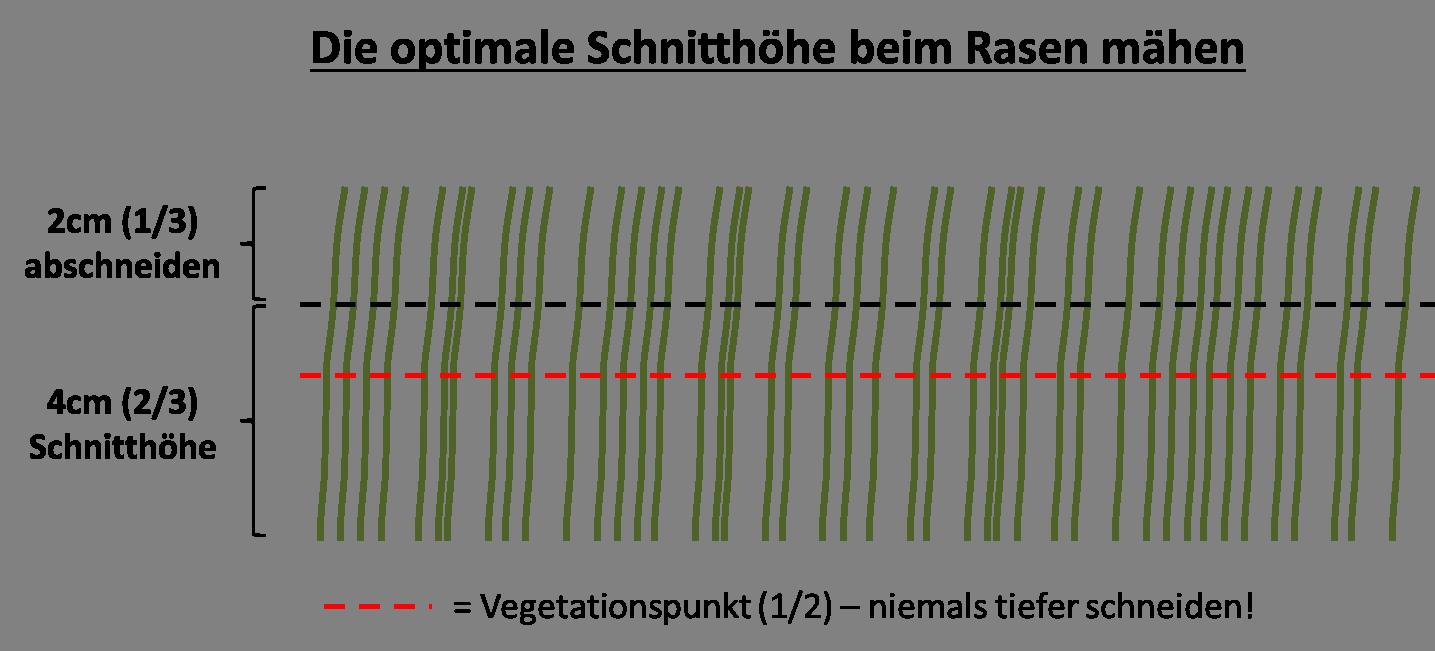 Rasen mähen - Vegetationspunkt
